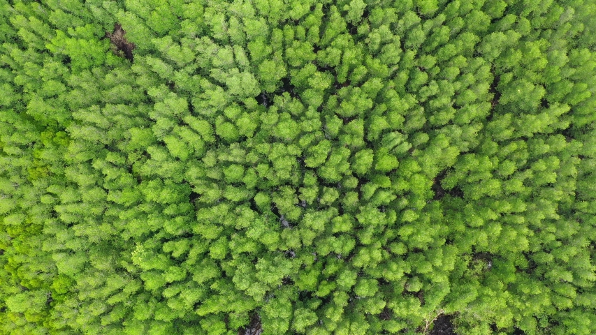 Aerial view of the top of the tree that is swaying in the tropical mangrove forest.  | Shutterstock HD Video #1037662451