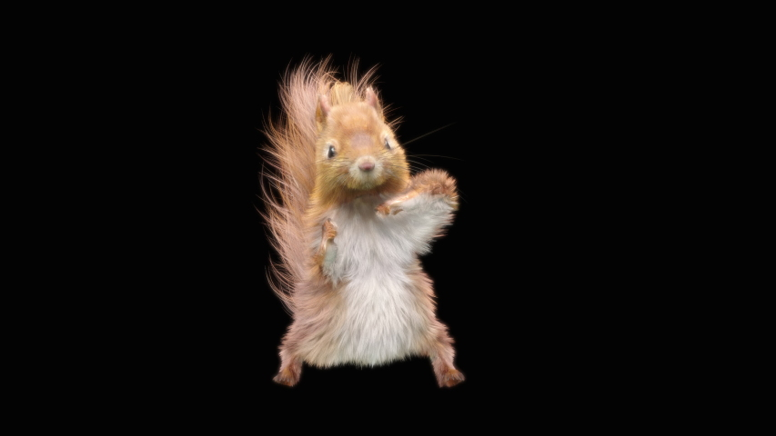 Squirrel Dance CG fur 3d rendering animal realistic CGI VFX Animation Loop  composition 3d mapping cartoon, with Alpha Channel | Shutterstock HD Video #1038251771