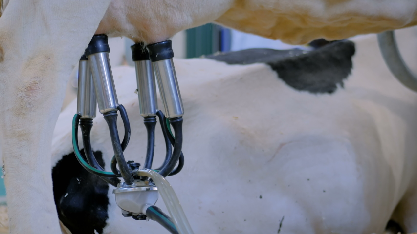 Automatic cow milking facility at cattle dairy farm, exhibition, trade show - close up view of cows udder with teat cups. Farming, automated technology, agriculture industry, animal husbandry concept | Shutterstock HD Video #1038677921