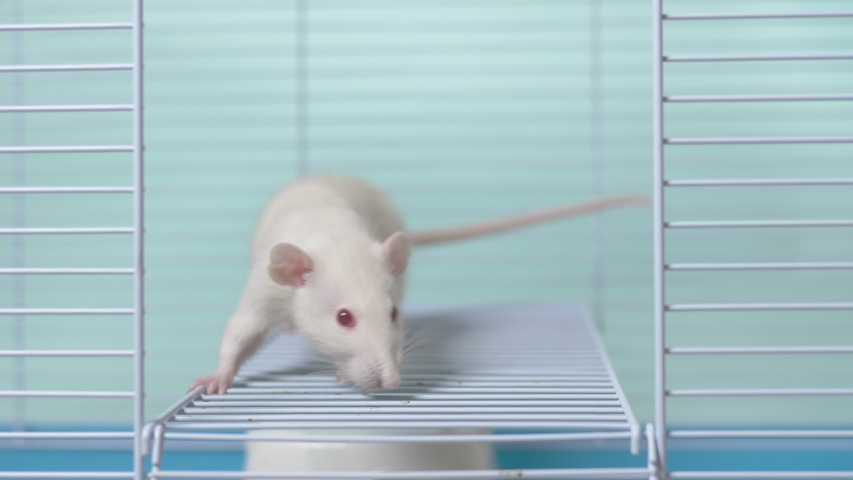 White rat in a cage. home pet. animal symbol of the year on the Chinese calendar. | Shutterstock HD Video #1039107131
