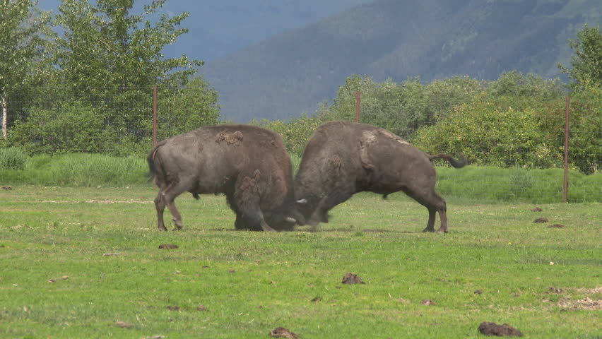 Two male bison sparring in a green valley in Alaska