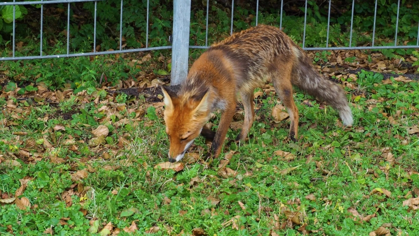 Wild animal red fox (Vulpes feeding in a field and eats obtained bread | Shutterstock HD Video #1039278071