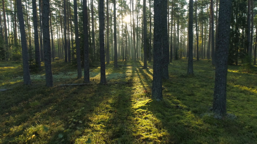 Sunny morning in pine forest camera moving low between trees | Shutterstock HD Video #1041050621