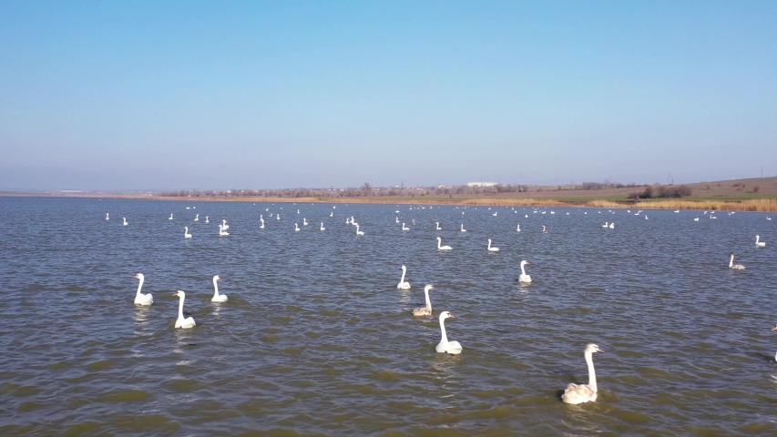 Aerial video. A large flock of white swans swims on the lake. Wildlife of Ukraine and its beauty. Ukrainian wild nature.   Shutterstock HD Video #1041460921