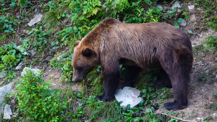 The bear moves on the stones.   Shutterstock HD Video #1041461041