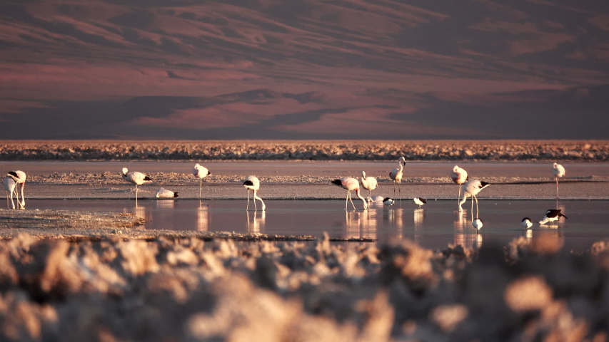 Salt lake with flamingoes and text space at top | Shutterstock HD Video #1042254151