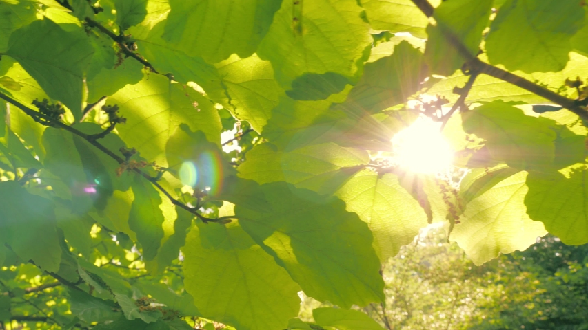Sun peaking through fresh green tree leaves foliage in park. Closeup, shallow DOF. 4K UHD. | Shutterstock HD Video #1042255651
