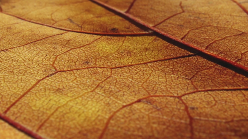 Macro shot of dead leaf. Orange fall, autumn plant detailed shot with pan movement.  | Shutterstock HD Video #1043481991