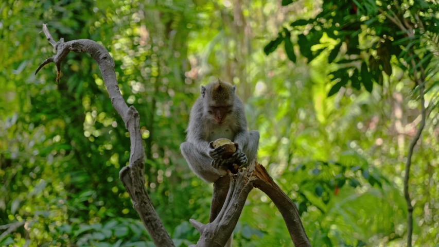 Visiting monkey forest at Ubud, Bali | Shutterstock HD Video #1044792661