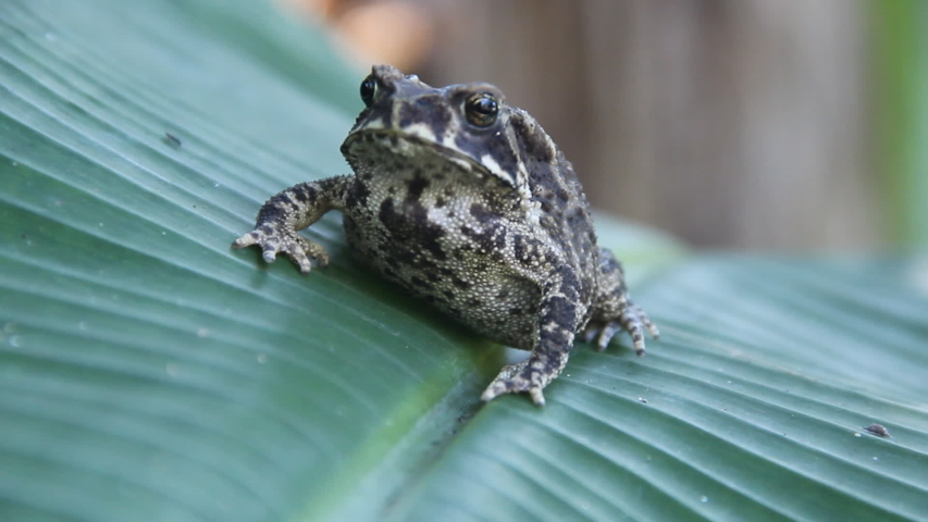 Ferguson's toad (Bufo fergusonii) in past Schneider's (dwarf) toad (Duttaphrynus scaber) amphibian to Sri Lanka and India. Picture from evergreen tropical forest of Sri Lanka | Shutterstock HD Video #1044812581