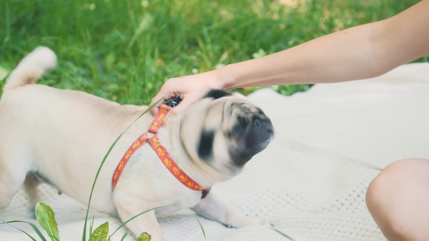 Girl is taking free time with her dog. Woman relaxing in the nature with her little pug dog. Crop. Close up. Copy space. 4K. | Shutterstock HD Video #1046770981