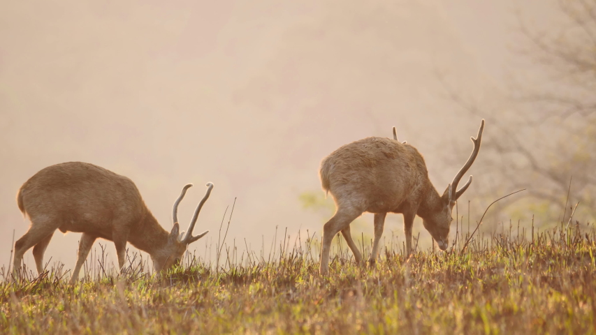 Close up Two males Hog Deer (Axis porcinus) walking eating grass in forest in the morning time. Animal Wildlife, Nature background Asia Thailand. Slow Motion   Shutterstock HD Video #1048524001