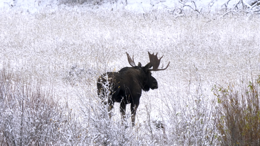 A bull moose walking in a snow covered meadow at yellowstone national park of wyoming, usa | Shutterstock HD Video #1049633701