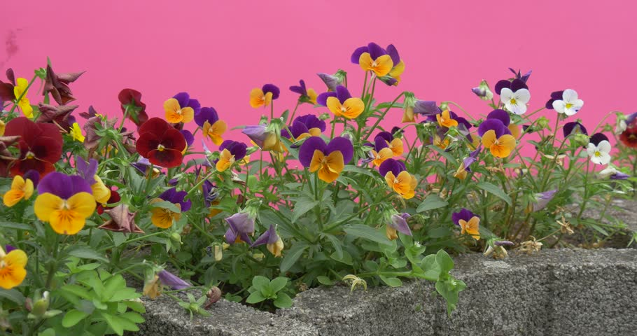 Violet yellow red violas tricolor heartseases flowers for Green plants for flower beds