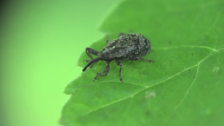Weevil insects macro sitting on green leaf, 2015 South Ukraine Europe in the forest, eco-friendly, nature beauty background, flora, wild forest | Shutterstock HD Video #10640027