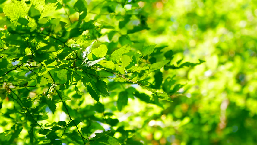 Green leaves in young forest growth with bright background and sun shining on branches. | Shutterstock HD Video #10694981