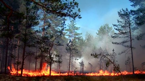 Forest fire Scenic Fire and thick smoke destroy wild forest. Wind strengthens fire. Dying trees in drought. Ecological disaster. Wildfire. Alarming and dangerous situation, flames erupted. Fierce.
