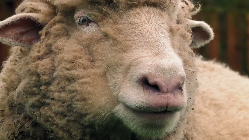 Sheep Chewing The Cud Closeup