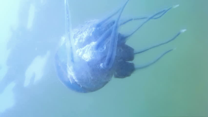 Stock Video Of Great Blue Jellyfish Filmed Underwater Camera