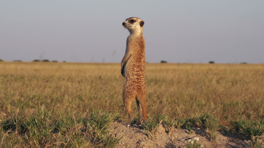 Funny animals.Meerkat on sentry duty while other meerkats forage for food,Botswana #10839071
