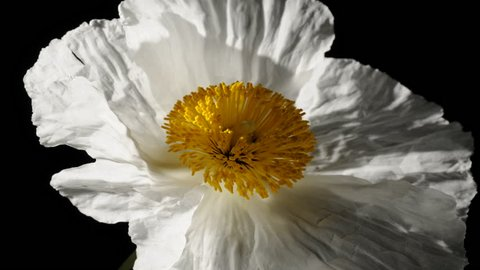 Romnea coulteri poppy like flower timelapse dying and withering time lapse part 2 of 2. Delicate, paper-like, white petals wither and die