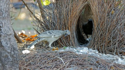 two young bowerbirds practice at a bower constructed of twigs