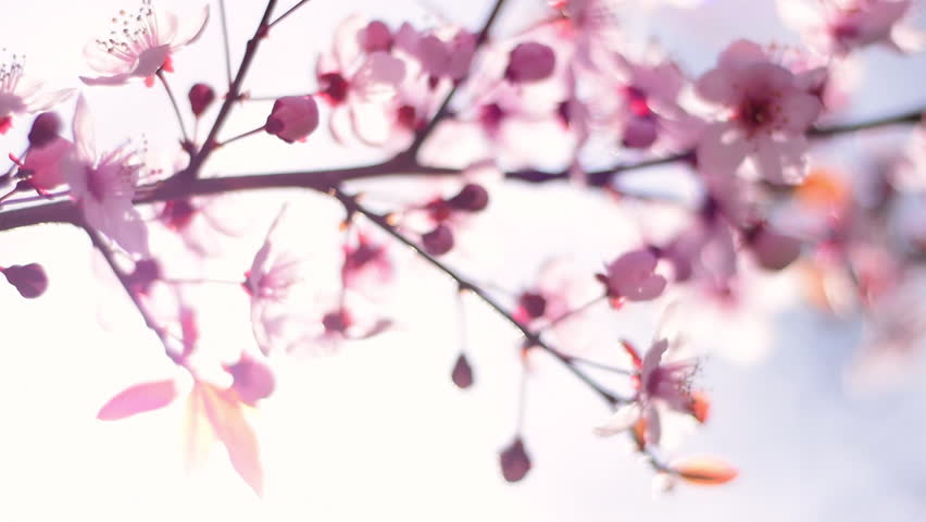 Pan across beautiful blooming pink cherry branch, trembling in the wind. Shallow dof. Beautiful soft nature scene of Japanese Sakura in springtime with lens flare. Slow motion hd footage. 1920x1080  | Shutterstock HD Video #10925261