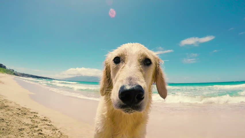 Close Up Shot of a Golden Retriever Looking into the Camera and Sniffing with his Nose at the Beach. #10963181