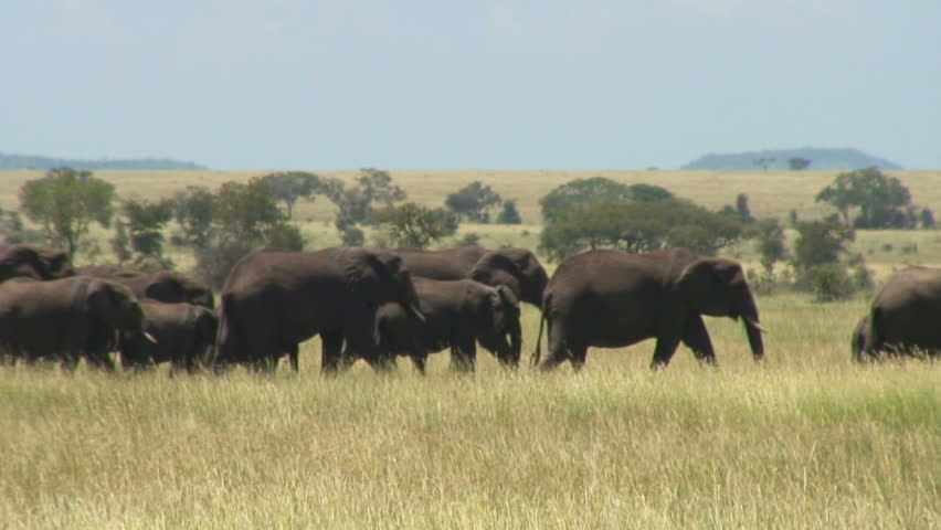 Large Herd of Elephants in the Serengeti