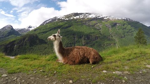 A family of Llama with mountains, clouds, snow and waterfalls in background. The Llama is liked for its woolly fur, milk and strength. The llama are ruminants herbivorous animals that chew their cud.