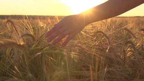 a young woman's hand running through wheat field. Girl's hand touching wheat ears close up.The time of sunset .The harvest concept. The harvesting. Slow-motion video at 240 frames per second.