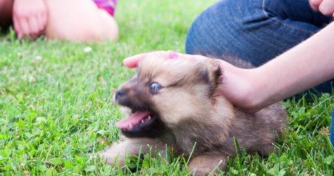Playful Chow Chow puppy in grass biting kids hands 4k