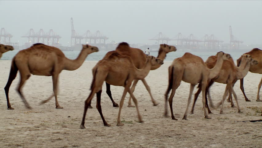 A herd of brown camels walk along a beach in Salalah with a large port visible in the distance