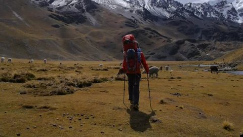 Hiking in andes over a plain with alpacas
