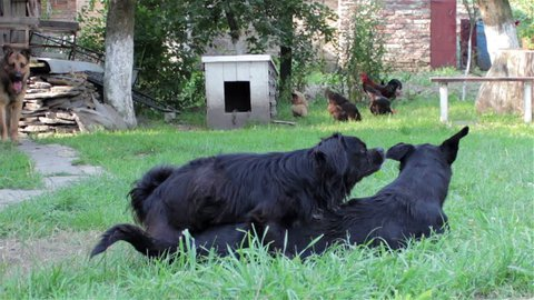 pairing black dogs/summer mating dog on the grass black dog breed