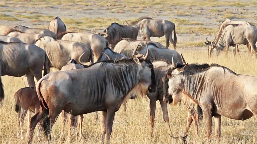 Wildebeests in Amboseli Park, Kenya  | Shutterstock HD Video #11239541