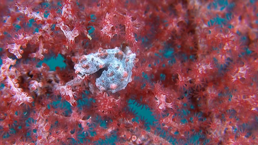 Pink Pygmy seahorse on gorgonian coral. | Shutterstock HD Video #11269181