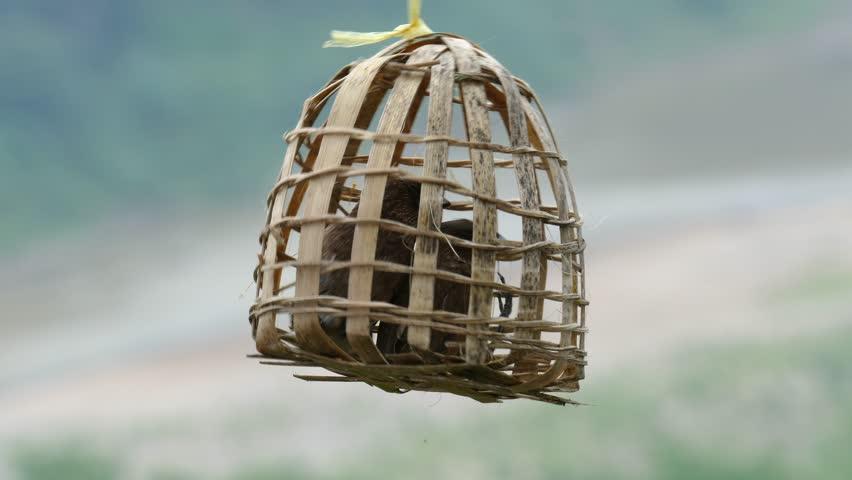 Scaly-breasted Munia (Lonchura punctulata) birds in wicker cage.