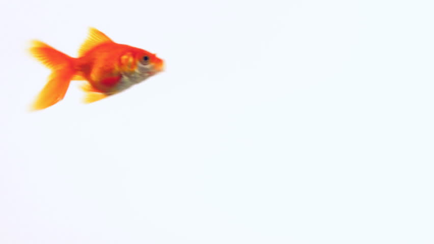 The gold fish swims in the water. On a white background