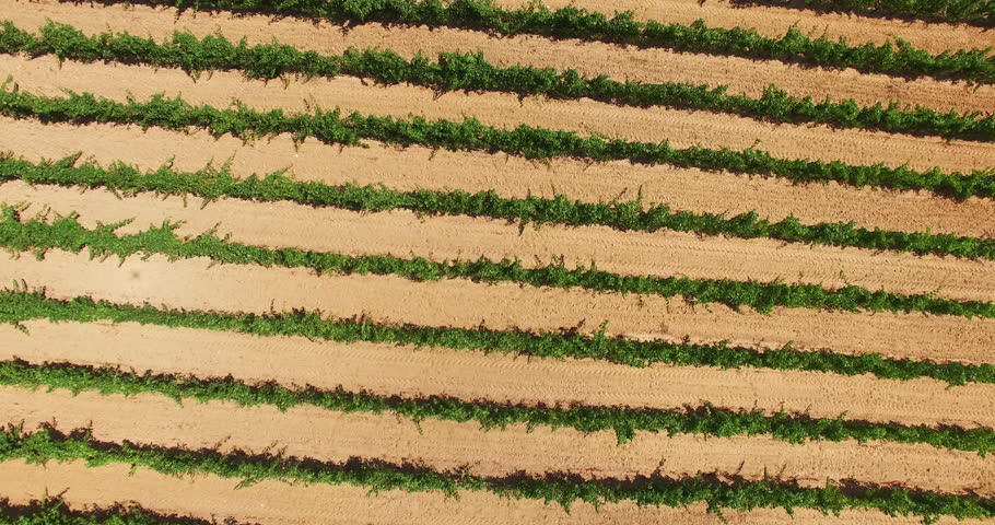 2015 High Quality Aerial Video (Ultra HD) of vineyards. Location: French Riviera in St. Tropez. The typical french vineyards produces one of the best wines in Southern France. Camera: 90 degrees angle