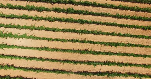 HQ Aerial Drone Video (Ultra HD) of vineyards. Location: French Riviera in St. Tropez. The typical french vineyards produces one of the best wines in Southern France. Camera: 90 degrees angle