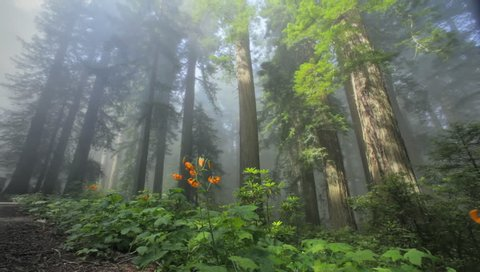 Redwood trees and flowers, Redwood NP, CA