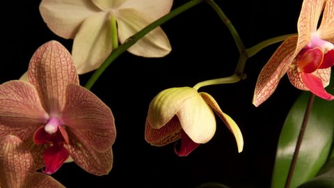 4K Time Lapse of orchid flower bud blooming, opening and blossoming into a pink orchid in front of a black background.