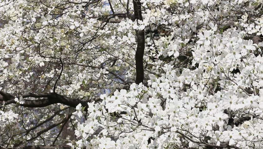 Closeup Of White Dogwood Tree Stock Footage Video 100 Royalty Free