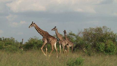 A giraffe running.