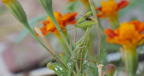 Green Mantis Praying Mantis Mantis Religiosa Is Sitting On The Marigold Orange Flower Tagetes,blurred background, flowers on background, blurred flowers, buttons, Green Leaves, green stalks, tagetes