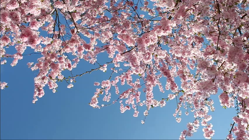 flowering cherry in spring on a sunny day