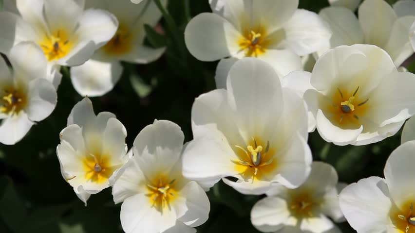 White tulips with some yellow stock footage video 100 royalty free white tulips with some yellow stock footage video 100 royalty free 1151731 shutterstock mightylinksfo