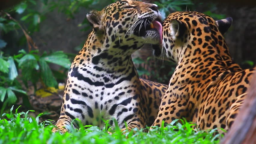 Jaguar And Lived In Central Stock Footage Video (100% Royalty Free)  11586941 | Shutterstock