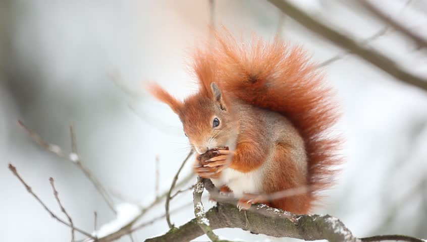 Cute orange red squirrel eats a nut in winter scene with snow
